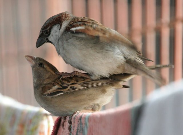 house_sparrows_mating_i_img_0066
